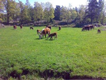 Kor på bete i hagen